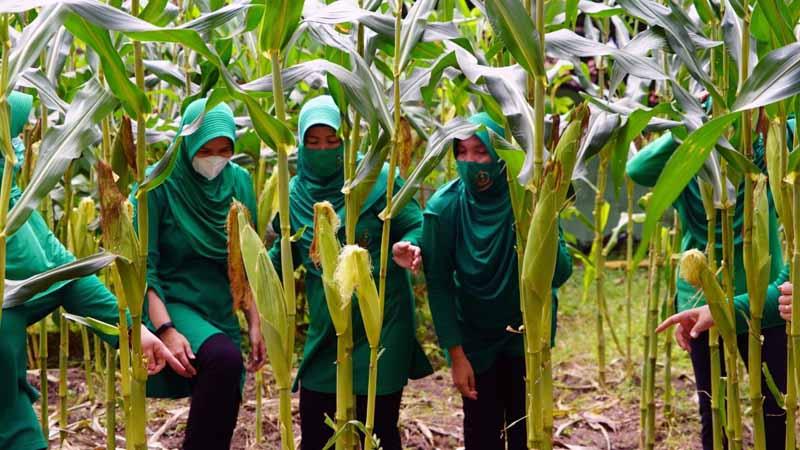 Ketua Persit KCK Koorcab Rem 042 PD II/Swj Ny Dewi Zulkifli Menunjukan Hasil Tanam Jagung. [FOTO : JambiNET/REM042]